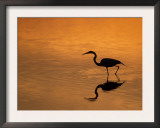 Heron Wading at Sunset, Ding Darling Nr, Sanibel Is, Florida, USA Prints by George Mccarthy
