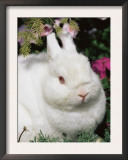 Netherland Dwarf Domestic Rabbit, USA Prints by Lynn M. Stone