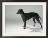 Manchester Terrier Art by Petra Wegner