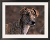 Magyar Agar / Hungarian Greyhound Poster by Adriano Bacchella