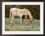 Wild Horse and Foal, Mustang, Pryor Mts, Montana, USA Prints by Lynn M. Stone