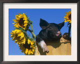 Domestic Piglet in Bucket with Sunflowers, USA Poster by Lynn M. Stone