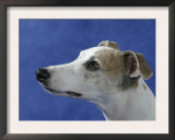 Head of Whippet Dog Prints by Petra Wegner