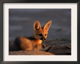Cape Fox, Kalahari Gemsbok National Park, S Africa Posters by Tony Heald