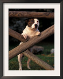 Staffordshire Bull Terrier Looking Through Fence Poster by Adriano Bacchella
