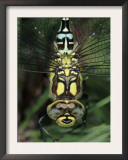 Southern Hawker Dragonfly Head Close-Up, Germany Posters by Hans Christoph Kappel