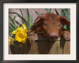 Domestic Piglet, in Bucket with Daffodils, USA Poster by Lynn M. Stone
