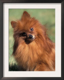 Pomeranian with Head Cocked to One Side Prints by Adriano Bacchella