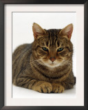 Domestic Cat, Striped Tabby Male Posters by Jane Burton