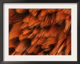 Close-Up of Plumage of Male Pheasant Posters by Niall Benvie