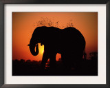 African Elephant Dusting Itself at Dusk, Chobe National Park, Botswana, Southern Africa Print by Tony Heald