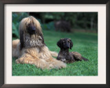 Domestic Dogs, Afghan Hound Lying on Grass with Puppy Posters by Adriano Bacchella