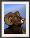 Rocky Mountain Bighorn Sheep, Jasper National Park, Alberta, Canada Prints by Lynn M. Stone