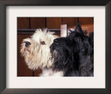 Domestic Dogs, West Highland Terrier / Westie Sitting on a Chair with a Black Scottish Terrier Poster by Adriano Bacchella
