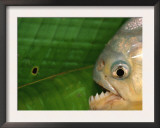 Piranha, Pantanal, Brazil Prints by Staffan Widstrand