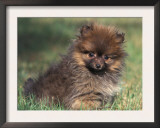 Pomeranian Puppy on Grass Print by Adriano Bacchella