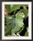 Mealy Amazon Parrot Poster by Lynn M. Stone