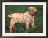 Shar Pei Standing in Grass Prints by Adriano Bacchella
