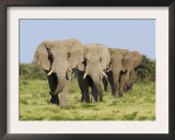 African Elephant, Bulls Walking in Line, Etosha National Park, Namibia Posters by Tony Heald