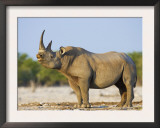Black Rhinoceros, Flehmen Response, Etosha National Park, Namibia Posters by Tony Heald