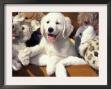 Golden Retriever Puppy with Toys Prints by Lynn M. Stone