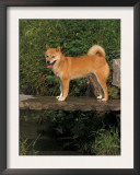 Shiba Inu Standing on a Bridge Prints by Adriano Bacchella