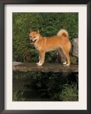 Shiba Inu Standing on a Bridge Prints by Adriano Bacchella