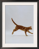 Domestic Cat, Red Tabby Kitten Running Profile Prints by Jane Burton