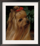 Yorkshire Terrier with Hair Tied up and Long Hair Prints by Adriano Bacchella