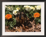 Dachshund Dog Amongst Flowers, USA Posters by Lynn M. Stone