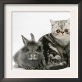 Blue-Silver Exotic Shorthair Kitten with Baby Silver Lionhead Rabbits Posters by Jane Burton