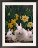 Netherland Dwarf Rabbits, Mother and Babies, Amongst Daffodils Prints by Lynn M. Stone