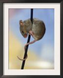 Domestic Mouse up Plant Stem Posters by  Steimer