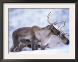 Reindeer from Domesticated Herd, Scotland, UK Prints by Niall Benvie