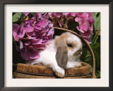 Holland Lop Eared Rabbit in Basket, USA Posters by Lynn M. Stone