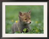 Red Fox Cub at a Rehab Centre, Scotland, UK Posters by Niall Benvie