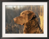 Chesapeake Bay Retriever Dog, USA Prints by Lynn M. Stone