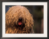 Hungarian Sheepdog / Komondor Face Poster by Adriano Bacchella