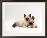 Seal-Point Birman Kitten with Baby Seal-Point Netherland Dwarf Rabbit, Colour Coordinated Poster by Jane Burton
