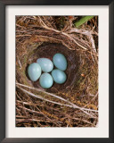 Hedge Sparrow / Dunnock, Nest with Five Eggs, UK Art by Jane Burton