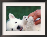 West Highland Terrier / Westie Puppy Being Petted Prints by Adriano Bacchella