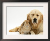 Sandy Lop Rabbit Cuddling up with Sleepy Golden Retriever Bitch Posters by Jane Burton