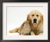 Sandy Lop Rabbit Cuddling up with Sleepy Golden Retriever Bitch Posters by Jane Burton