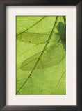 Emperor Dragonfly, Silhouette Seen Through Leaf, Cornwall, UK Poster by Ross Hoddinott