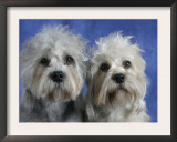 Two Dandie Dinmont Terrier Dogs Print by Petra Wegner