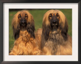 Domestic Dogs, Two Afghan Hounds Prints by Adriano Bacchella