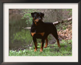 Rottweiler Dog in Woodland, USA Art by Lynn M. Stone