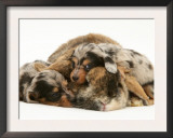 Silver Dapple Miniature Dachshund Puppies Cuddled up with Tortoiseshell Dwarf Lop Doe Rabbit Poster by Jane Burton