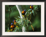 Red Collared Rainbow Lorikeets Flock in Tree, Western Australia Posters by Tony Heald