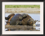 Black Rhinoceros, Wallowing and Rolling in Mud, Etosha National Park, Namibia Art by Tony Heald